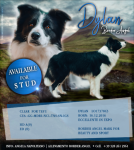 Dylan Border Angel Available For Stud